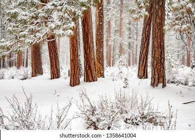 Ponderosa pine forest during a light snow storm in Central Oregon near Sistrers