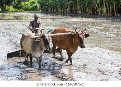 PONDICHERY, PUDUCHERRY, TAMIL NADU, INDIA - SEPTEMBER CIRCA, 2017. Farmers plowing agricultural field in traditional way where a plow is attached to bulls