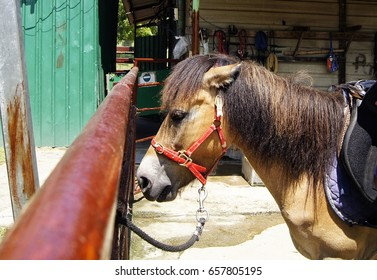 Poney in stable