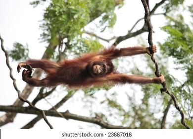 Pongo species - orangutan hanging from tree