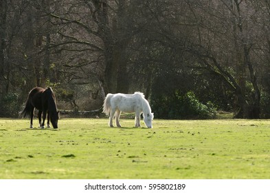 Ponies graze near Janesmoor Pond, New Forest National Park