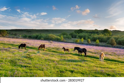 Ponies grazing in a bluebell meadow at Emsworthy Mire on Dartmoor National Park in Devon