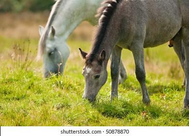 Ponies on pasture