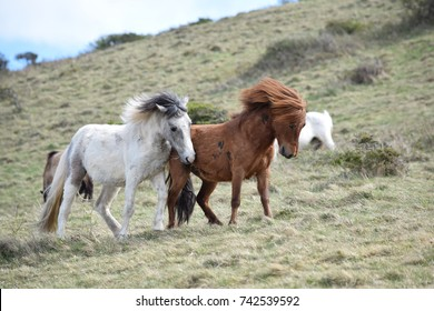Ponies playing on Brean Down, Somerset
