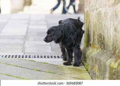 PONTEVEDRA, SPAIN - APRIL 2, 2015: A black dog urinating on a wall in one of the streets in the historic town.
