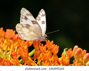 Pontia protodice, Checkered White butterfly feeding on orange Butterflyweed, with dark background
