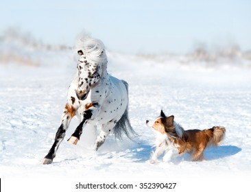 pony appaloosa with border collie have fun in snow