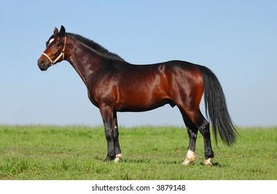 pony chestnut stallion
