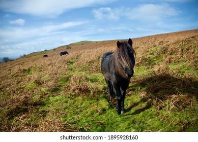 Pony Dartmoor UK natural Free fields