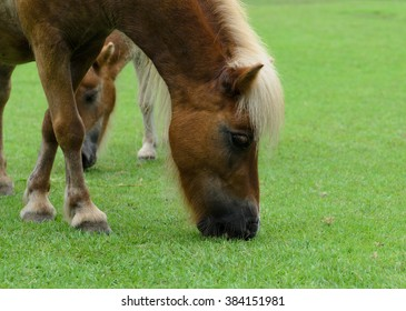Pony eating grass in the field.