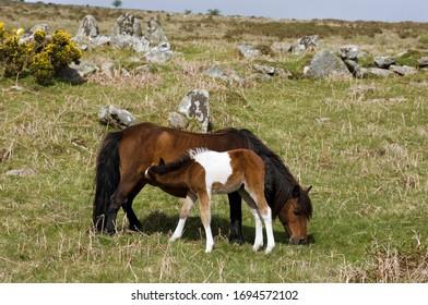 Pony with foal Dartmoor National Park Devon England
