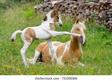 Pony foal kicks its mother with its front hoof. Coat color pinto with tobiano patterns also called skewbald.