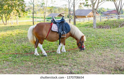 A Pony Horse eat grass in fram