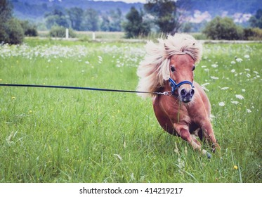 Pony horse on a leash is galloping on the meadow. Shetland Norwegian pony is exercising on green grass with forest in the background. Animal in nature