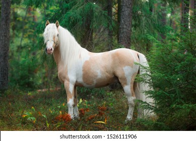 pony portrait beige piebald horse stallion in a beautiful blue bridle in the summer forest on the background of greenery at the christmas tree
