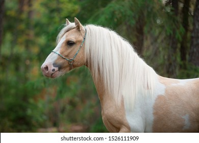 pony portrait of a beige piebald horse stallion in a beautiful blue bridle in a summer forest on a background of greenery