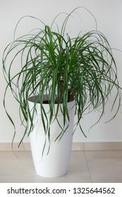 Ponytail palm houseplant in elegant white pot