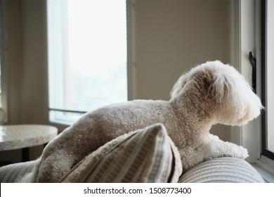 A Poochon (Poodle/Bichon mix) enjoying a lazy Sunday afternoon.