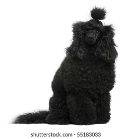 Poodle, 12 months old, in front of white background