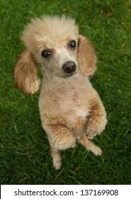 poodle begging