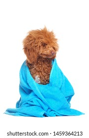 Poodle in blue towel looking to the side to the copy space area