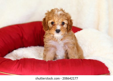 Poodle and Cavalier King Charles Spaniel mix (commonly called a Cava-Poo) puppy sitting on doggy bed