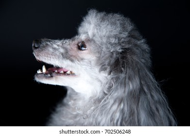 The poodle dog in a black background photography studio.
