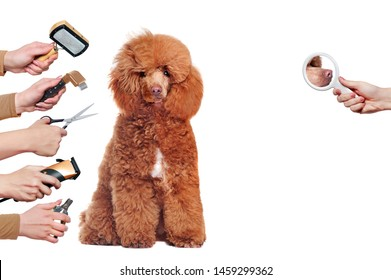 Poodle dog half groomed surrounded by hands with tools