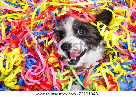 poodle dog having fun and  a party with serpentine streamers, for birthday or happy new year  , laughing