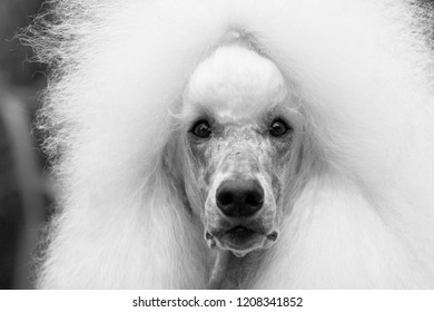 Poodle dog: standard poodle and toy poodle