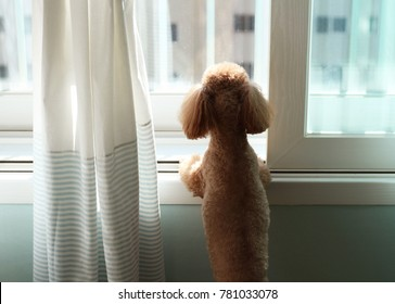 Poodle dog staring outside through window in apartment