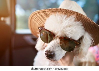 Poodle in Car Stock Photos, Images & Photography | Shutterstock