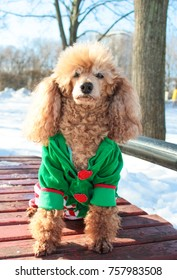 poodle, dog symbol of the year