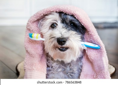 Poodle Dog with Toothbrush in the Mouth and Pink Towel.Ready for Bath
