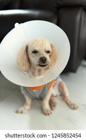 Poodle dog wearing Elizabethan collar to stop licking itself after surgery.