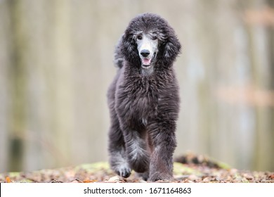 Poodle having fun in the forrest