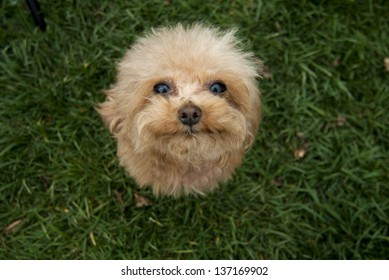 poodle looking up on a lawn