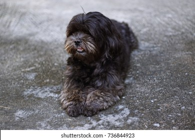 poodle mix shih tzu dog with soft focus background