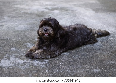 poodle mix shih tzu dog colour black with soft focus background