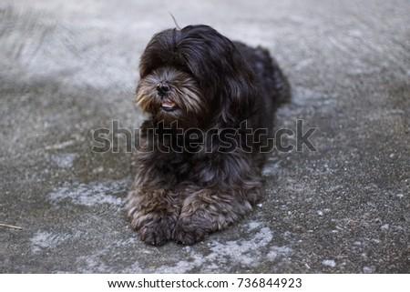 Poodle Mix Shih Tzu Dog Soft Stock Photo Edit Now 736844923