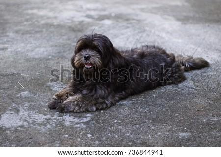 Poodle Mix Shih Tzu Dog Colour Stock Photo Edit Now 736844941