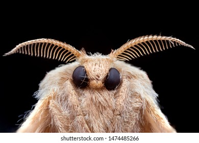 Poodle moth from extreme macro photography with black background