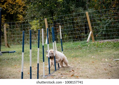 The poodle is in an obstacle course doing the slalom poles