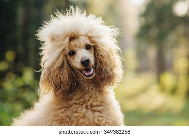 Poodle on a walk, autumn