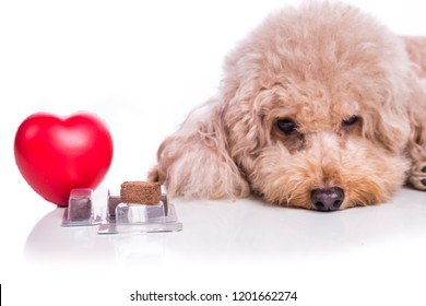 Poodle pet dog with beef chewables for heartworm protection and treatment on white background