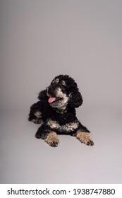 Poodle Phantom. An unusual little black dog. Dog is man's friend.