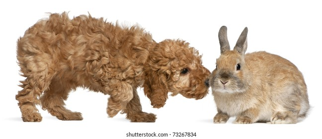 Poodle puppy, 2 months old, sniffing rabbit in front of white background