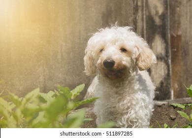 Poodle puppy brown in vegetable plots. Making soft light and blur.