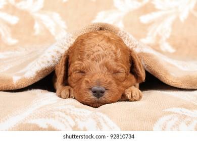 Poodle puppy (second week) sleep in blanket. Closeup portrait series