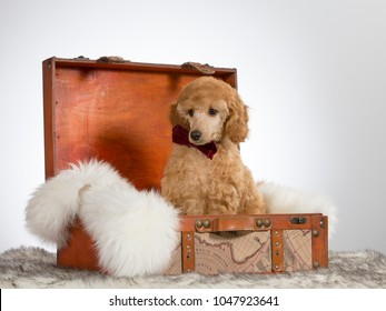 Poodle puppy sitting in a wooden suitcase. Image taken in a studio with white background.